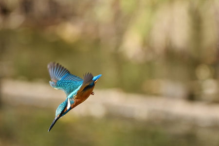 Kingfisher swooping