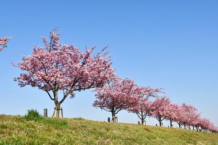 Kawazu cherry blossoms in Ichikawa