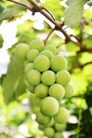 Muscat before harvest