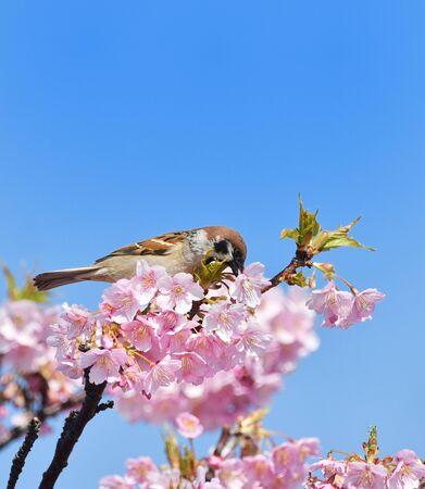 Kawazu cherry blossom bird 写真素材