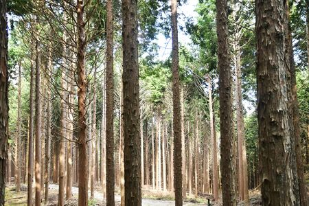 Well-maintained cedar forest