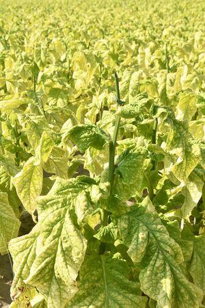 Pre-harvest tobacco fields 写真素材