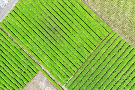 Aerial photographs of tea fields Archivio Fotografico