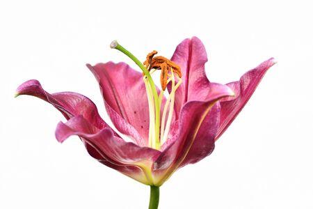 Lilie weißer Hintergrund