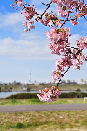 Kawazu cherry blossoms on the banks of the Edo River