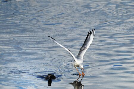 Seagull on the surface of the water