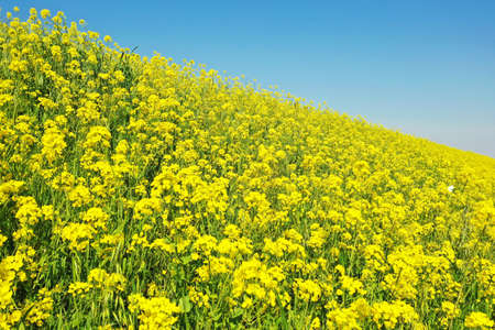 Rape blossoms on the riverbed