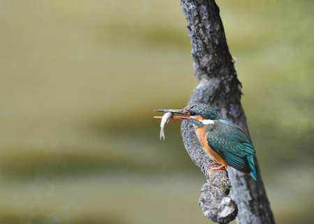 Kingfisher in the diet