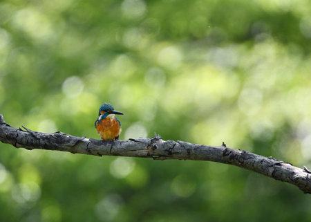 Male kingfisher on a break Stockfoto