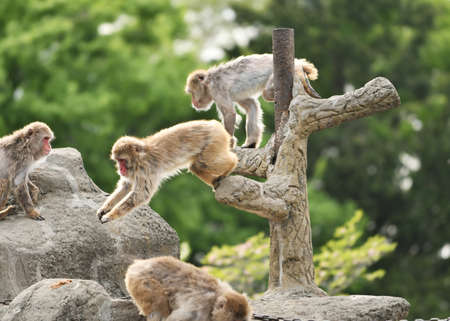 Japanese macaques in the zoo