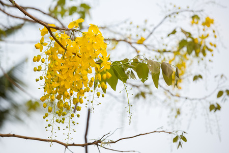 fistula: Flowers of Golden Shower or Cassia Fistula, national flower of Thailand. Stock Photo