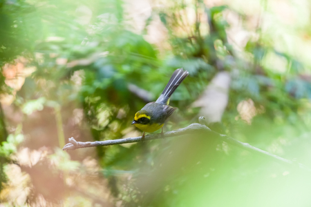 fantail: Beautiful Bird. The yellow-bellied fantail (Chelidorhynx hypoxantha) at doi inthanon national park, Chiang Mai, Thailand