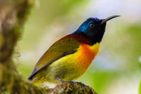 sunbird: Colorful of Green-tailed Sunbird Stock Photo