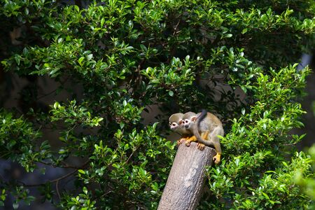 small world: Squirrel Monkey