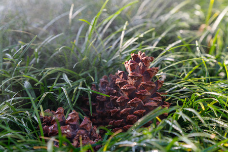 christmas grounds: Two pine cones on the ground.