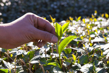 fairtrade: Close up hand on tea plantation in Thailand