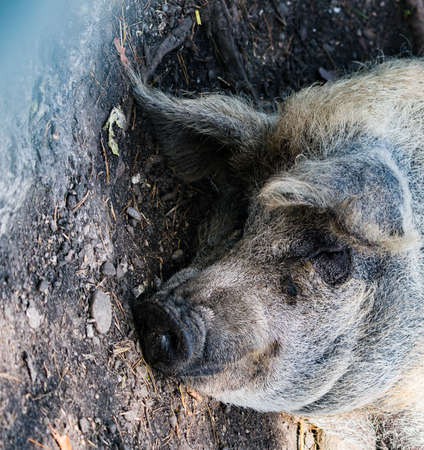 Wild pig in the pasture, close-up photos 스톡 콘텐츠