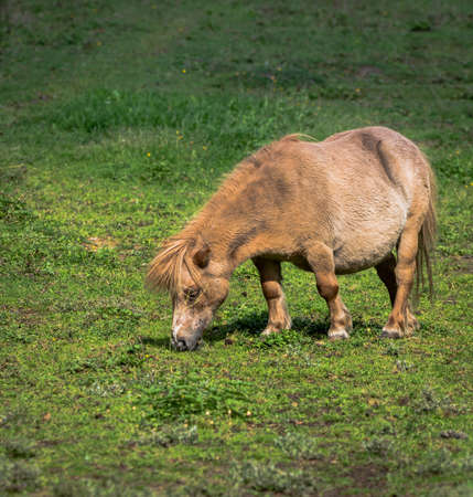 A small brown pony in a clearing eating grass
