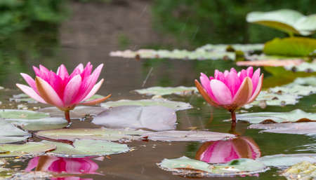 Pictures showing pink water lilies, very close photos