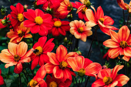 Pictures showing a close-up of the flowers of the flower called Red dahlia