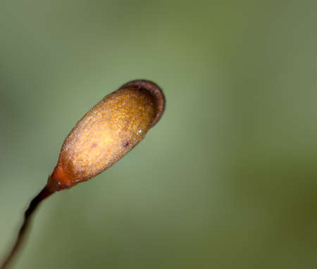 Sporophyte of moss and capsule with spores, ultra macro