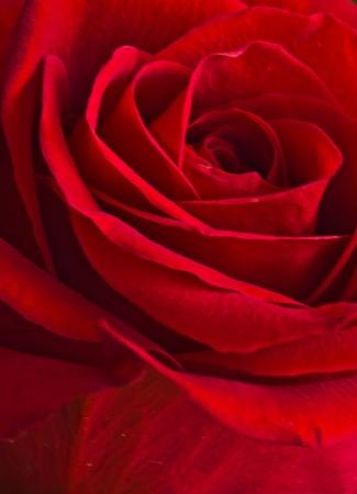 Closeup of abeautiful rose Stock Photo - 20963448