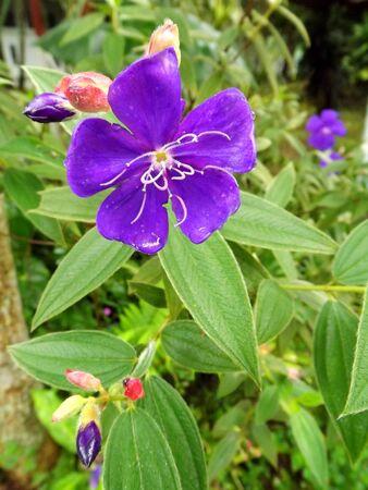 violette fleur: fleur pourpre avec le fond vert des feuilles