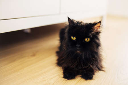 Closeup of cute fluffy black cat with big yellow eyes sits on the floor in the room. Funny expression on its face.