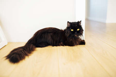 Cute fluffy black cat with big yellow eyes and long tail lying on the floor in the room, near the doorway. Looking into the camera.