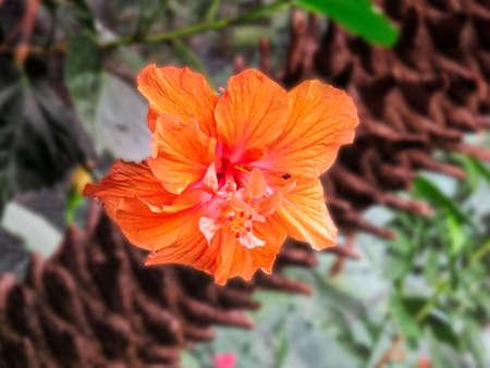 some surround glow on orange hibiscus with blurry tropical background