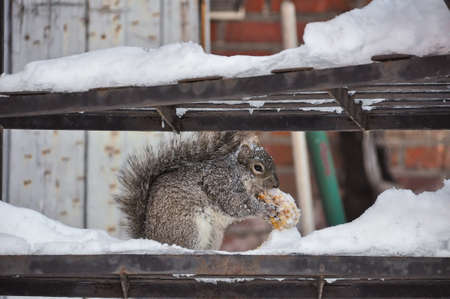 On metal steps covered by snow, a squirrel is eating a big nut. Orange bricks in background.