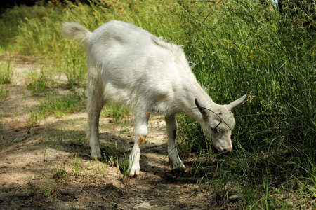 White goat grazes eats grass autumn summer forest hungry.