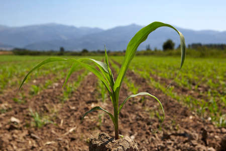 Young corn seedling grows at spring