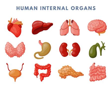 Human internal organs medicine anatomy vector illustration. Illustration