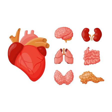 Internal organs vector illustration.
