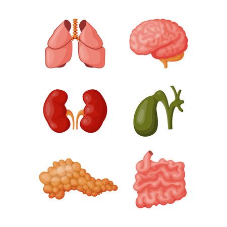 esofago: Los órganos internos ilustración vectorial. Vectores