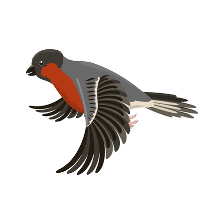 common cold: Bullfinch colorful nature winter flying bird vector illustration. Illustration