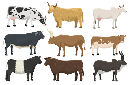 Set of bulls and cows farm animal cattle mammal nature beef agriculture and domestic rural bovine horned cartoon buffalo character vector illustration. Farming pasture agriculture horn design.