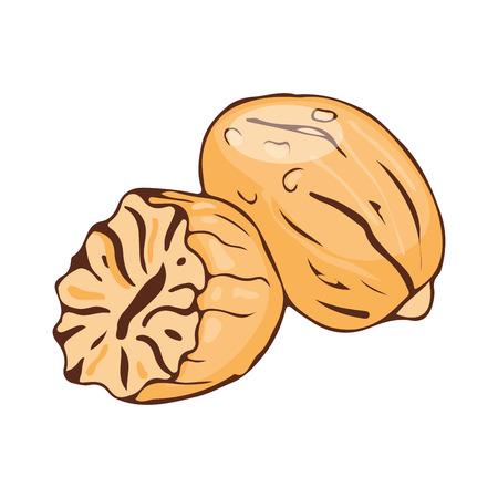 Assaisonnement de noix meg isolé sur fond blanc nourriture d'épices aromatiques dessiné à la main et assaisonnement illustration vectorielle de condiment anis arôme. Banque d'images - 74237787
