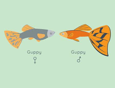 poecilia: Exotic tropical guppy fish colors underwater ocean species aquatic nature flat isolated vector illustration Illustration