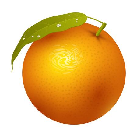Ripe orange fruits, citrus, sweet food, realistic organic illustration. Illustration
