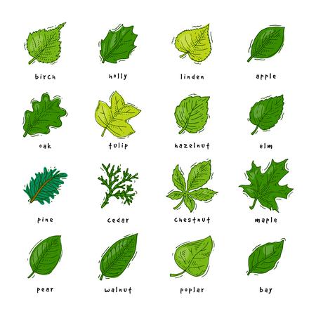 葉の葉の葉の葉はオークと葉のカエデや葉の葉の葉のイラストは、白い背景に隔離された葉っぱで設定された春の葉のイラスト