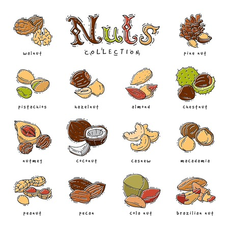 Nuts vector nutshell of hazelnut almond and walnut nutrition illustration set cashew peanut and chestnut with nutmeg isolated on white background Illustration