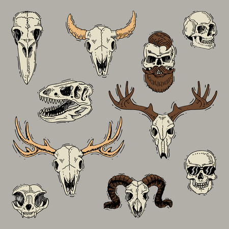 Skulls boned head of animals of bull goat or sheep and human skull with beard for barbershop illustration skeleton set isolated on background.