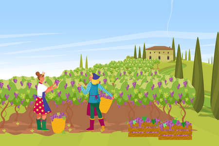 Plantation french provence wine production, farmer harvesting grape fruit berry, european farmhouse flat vector illustration. Illusztráció