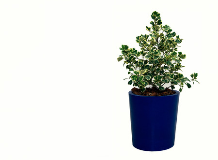 Ficus benjamina Stock Photo