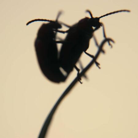 relaciones sexuales: Dos escarabajos del lirio de apareamiento de hoja de lirio en la silueta Foto de archivo