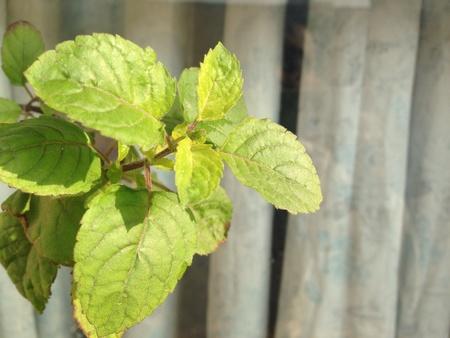 tulsi: Close up photo of tulsi plant leaf