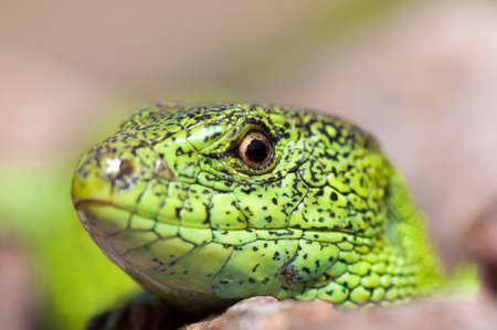 lacerta: Sand lizard (Lacerta agilis) male during mating season close up Stock Photo