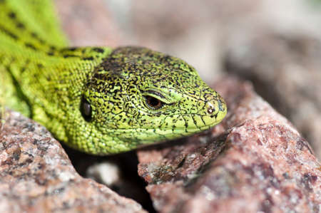 lacerta: Sand lizard (Lacerta agilis) male during mating season close up Stock Photo